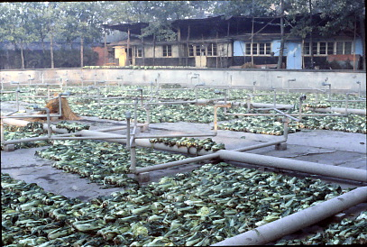 Cabbages drying on the grounds of Central Broadcasting, Fall, 1980; photo by Gail Pellett